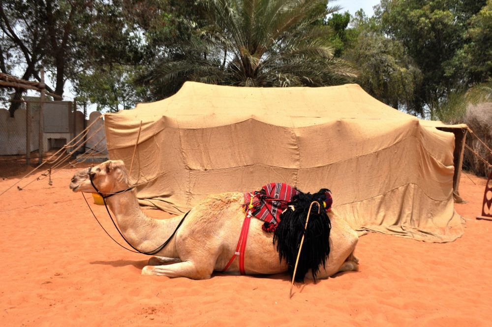 Camel sits in front of a nomad tent at the Heritage Museum, Abu Dhabi