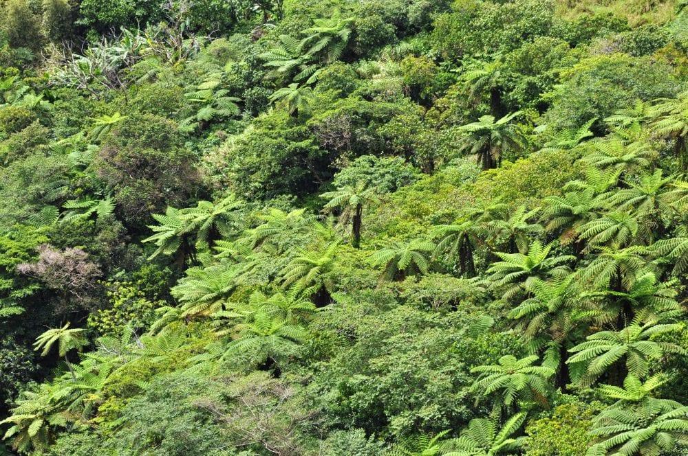 A panorama of rainforest and fern trees, Vanuatu
