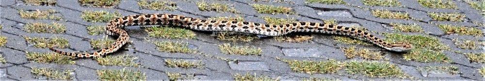 A viper slithers across a car park, Taiwan