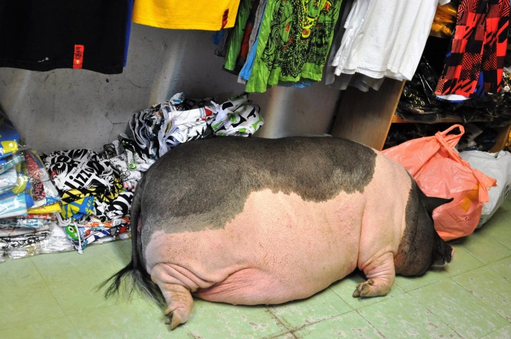 A large black and pink pig asleep inside a shop