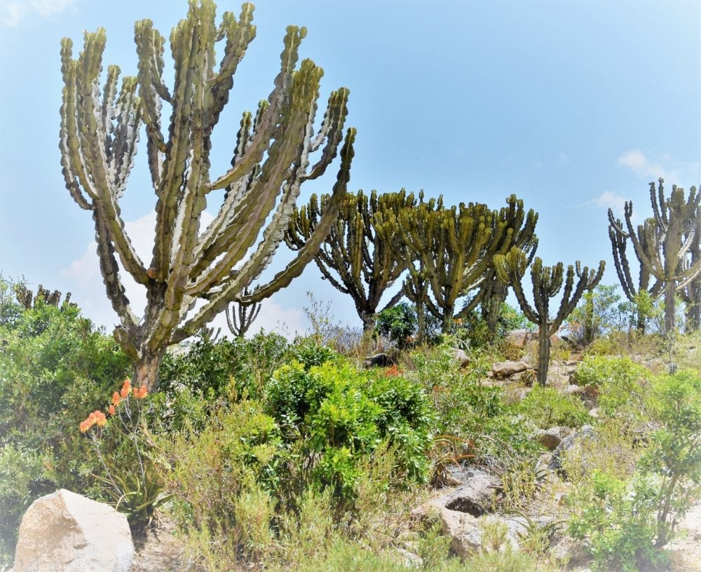 Organ pipe cacti bushes in Eritrea