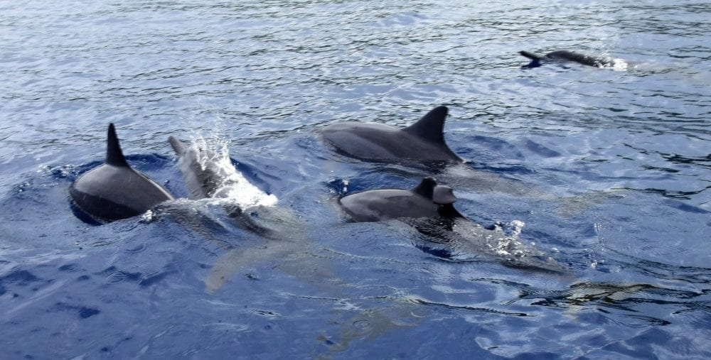 A pod of dolphins seen on the surface of the sea