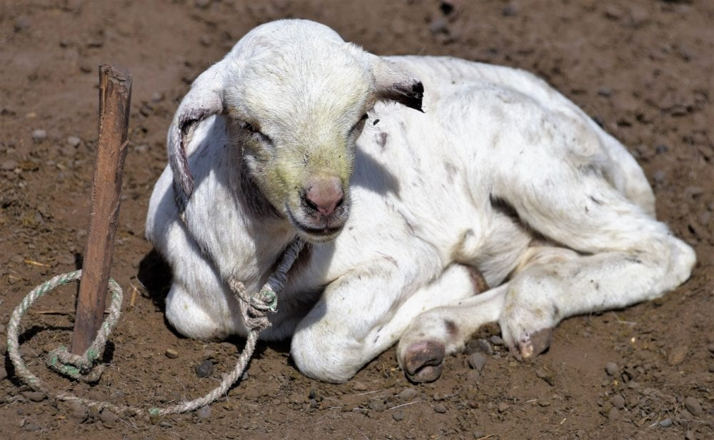 A tethered baby goat