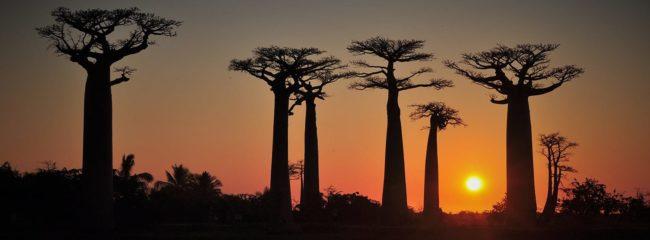 Baobab Avenue in Madagascar at sunset