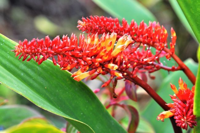 Bright red flowers in Papua New Guinea