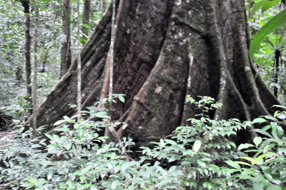 Fig tree roots Dominica