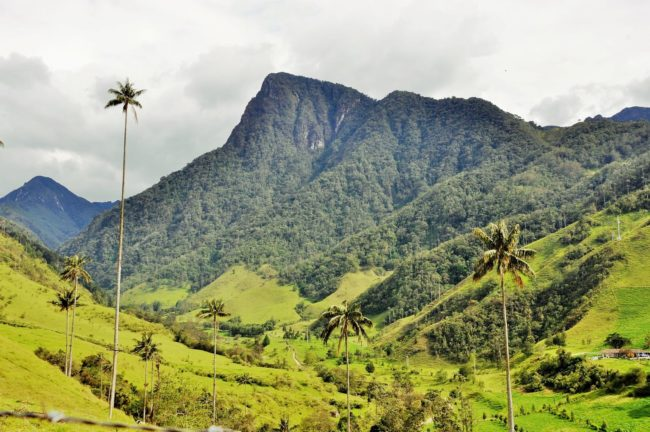 Tall wax palms at the Valle de Cocora, Colombia