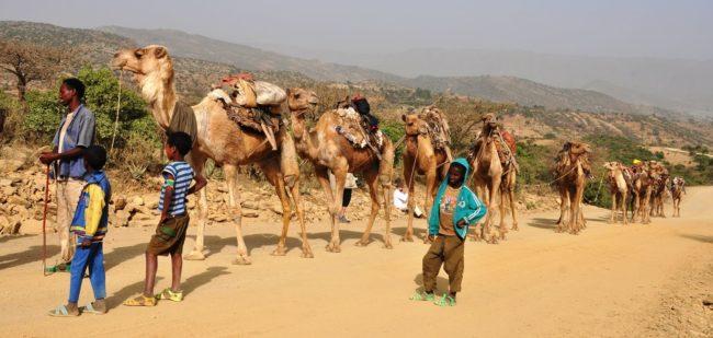 A camel train walking up a dusty road in Ethiopia