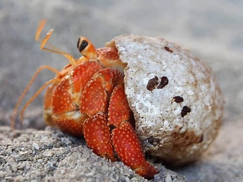 A red hermit crab poking out of its shell