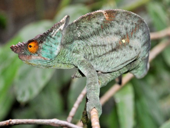 A green, round backed common chameleon in Madagascar