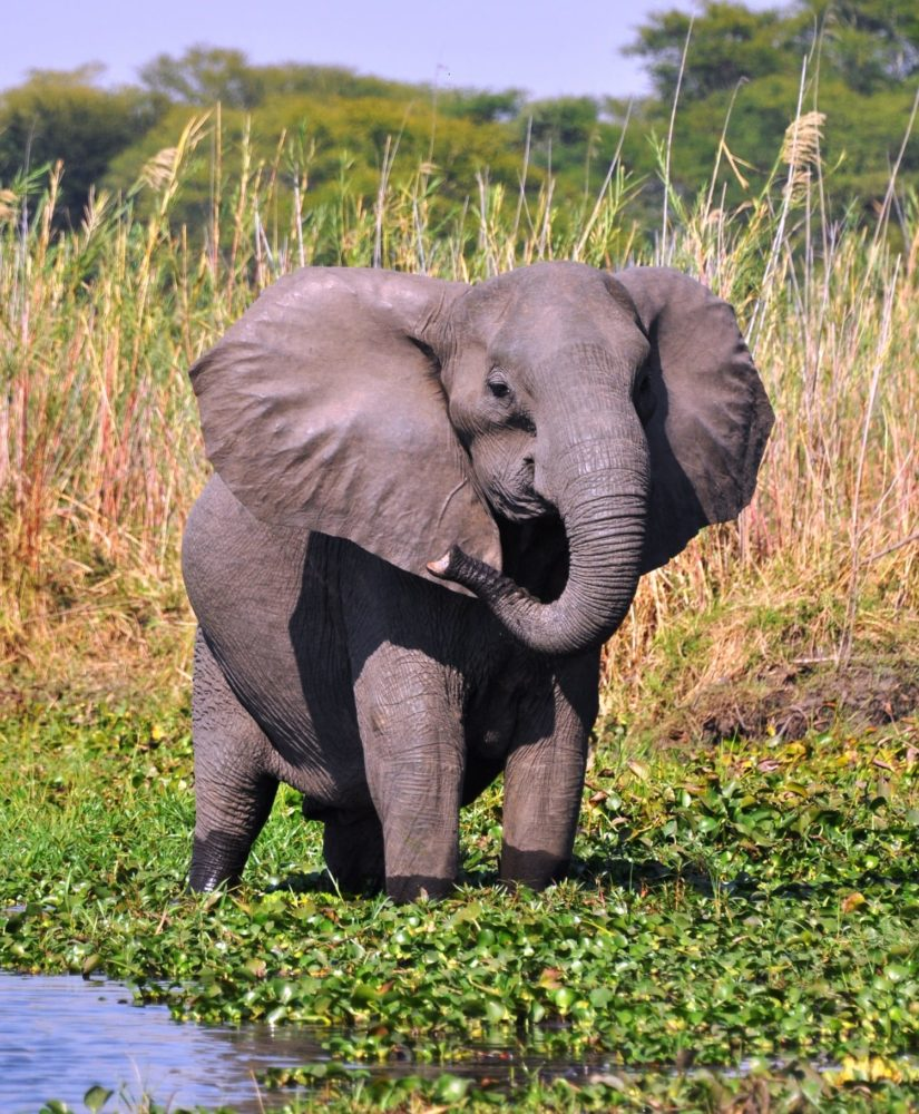 A young elephant alert on the riverbank at Liwonde, Malawi