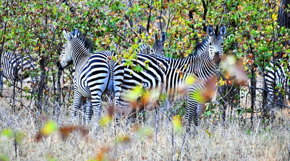Zebra casting patterns in the leaves at Liwonde, Malawi