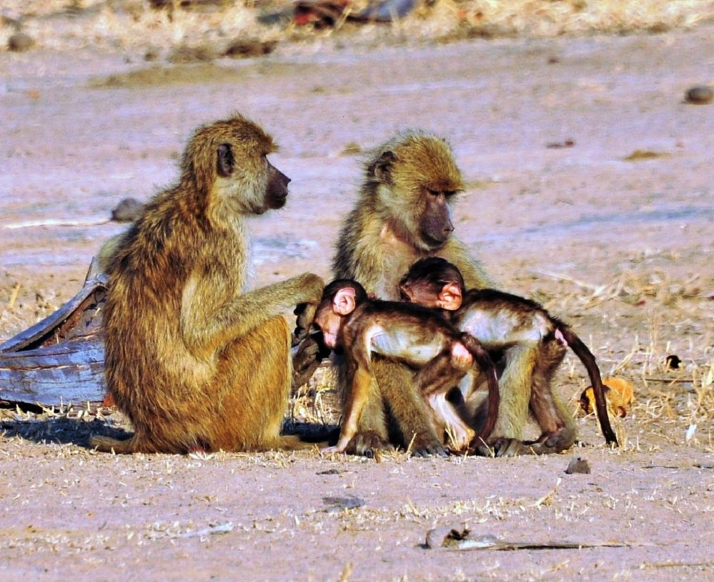 Two baby monkeys cuddle their parents on the ground at Liwonde, Malawi