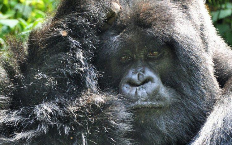 Portrait of a silverback gorilla , Volcanoes National Park, Rwanda