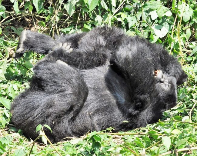 Two young gorillas play fighting, Volcanoes National Park
