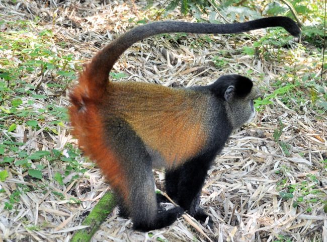 Side view of a golden monkey
