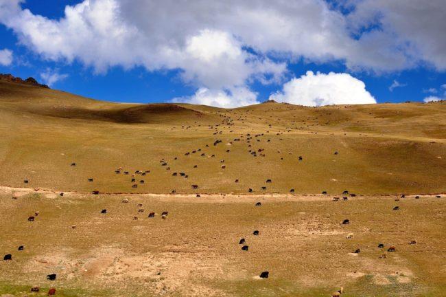 A herd of yak spread across the hillside in Kyrgyzstan