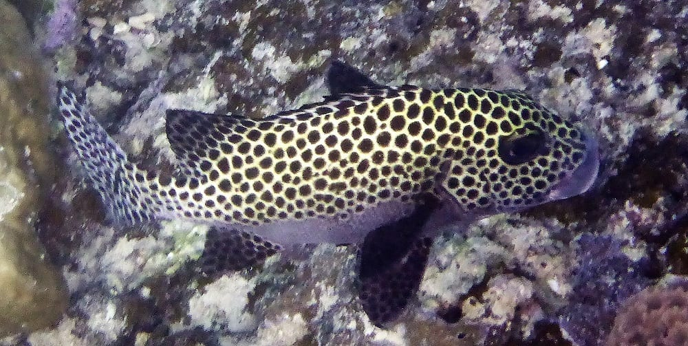 Leopard spotted fish on the reef at Uepi Solomon Islands