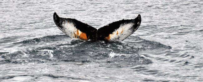 A humpback whale's fluke tinged with black and rust