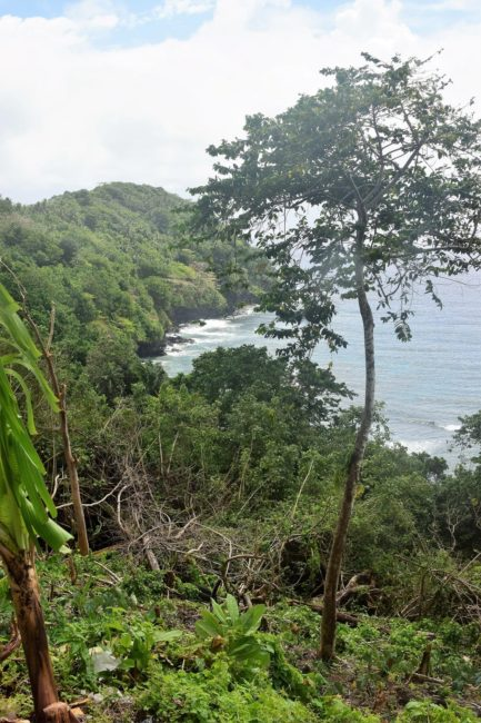 Small tree with a very thin trunk at the top of a headland in American Samoa