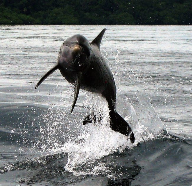 A dolphin leaps out of the water at Bocas del Toro