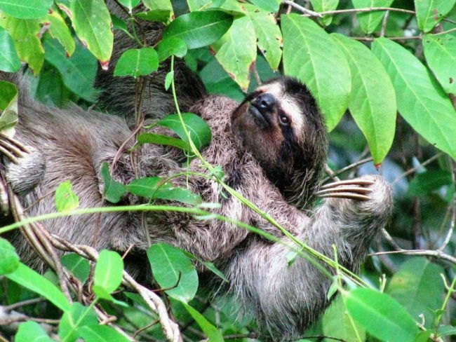 A sloth lies on its back in a tree, Bocas del Toro