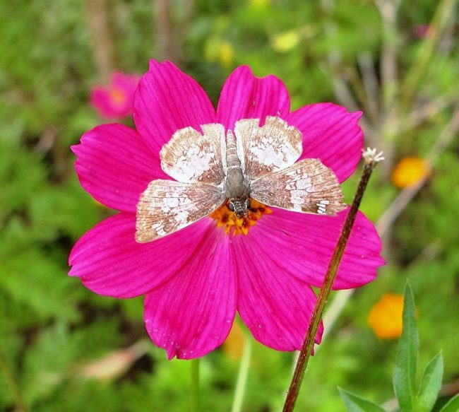 A brown and white moth on a large bright pink flower, Costa Rica