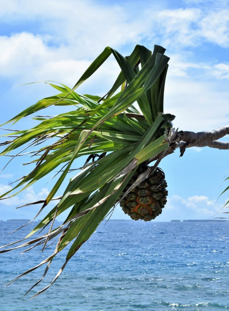 Pandanus branch with hanging fruit