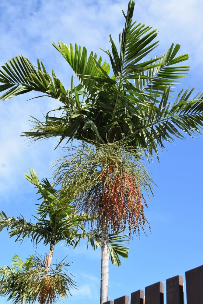 A spray of red palm nuts in a palm tree