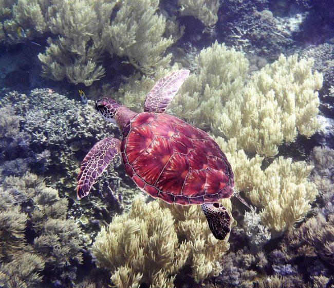 A turtle swims serenely in Marovo Lagoon Uepi Solomon Islands
