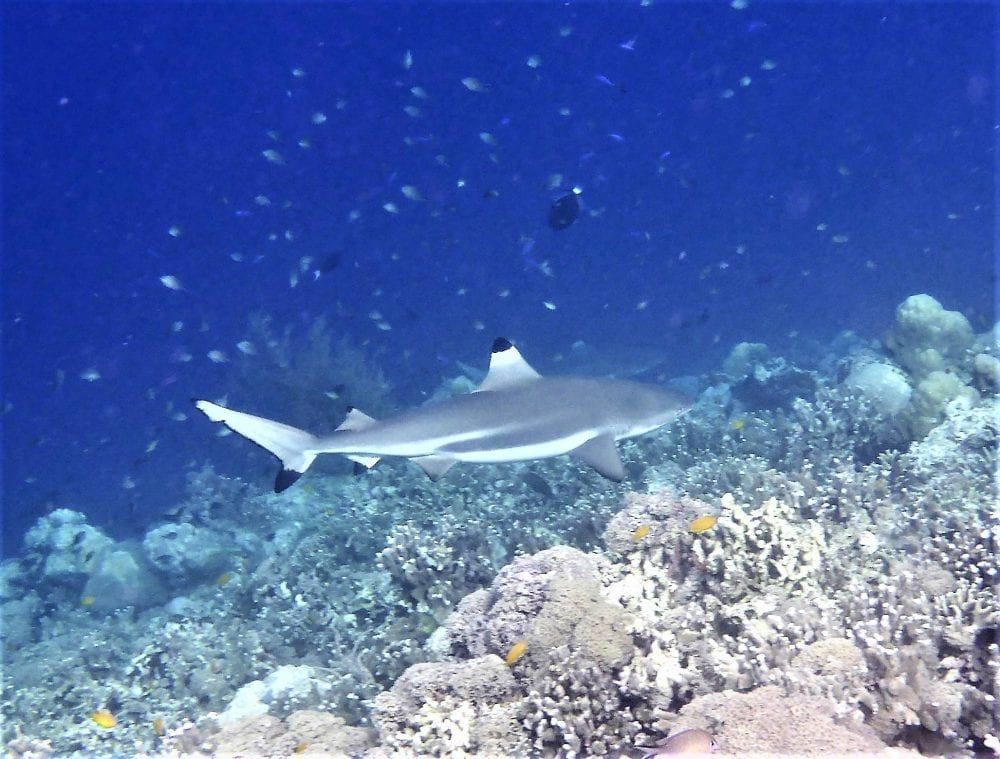 A black tipped shark on the reef at Uepi Solomon Islands