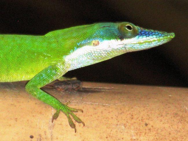 A headshot of a lizard on Roatan