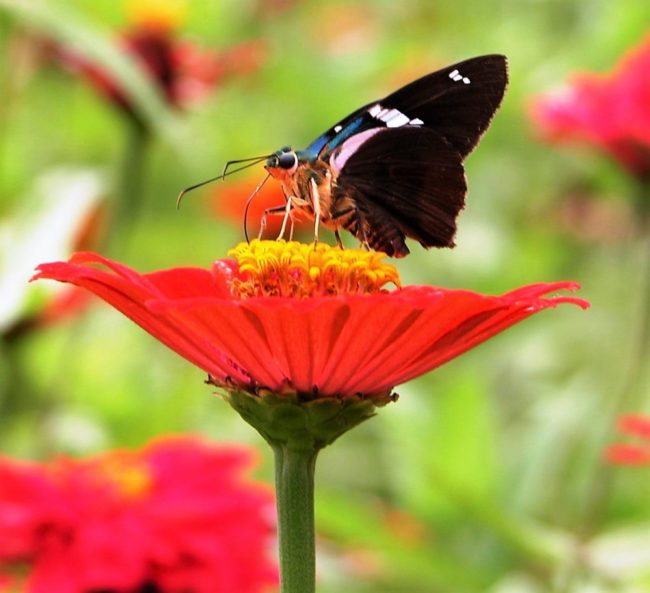 Butterfly perched on a red flower