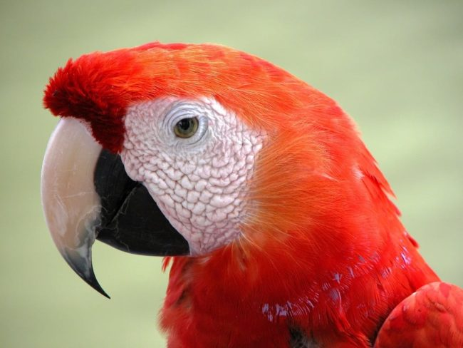 Close up of a red parrot's head and beak, Nicaragua