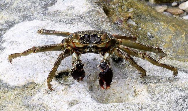 Crab on the beach in Nauru