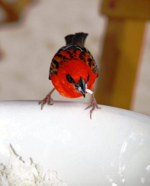 Red cardinal fody, Seychelles
