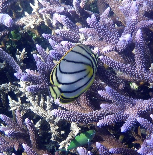 Butterfly fish on purple coral