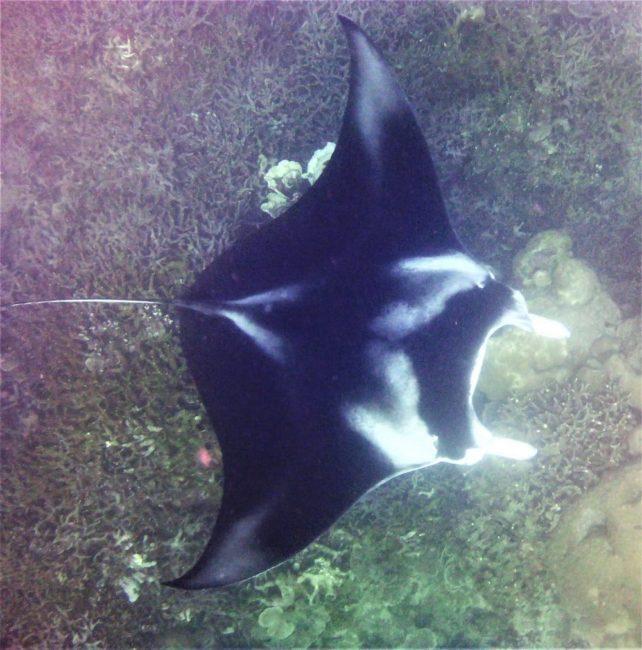 A manta ray at its cleaning station