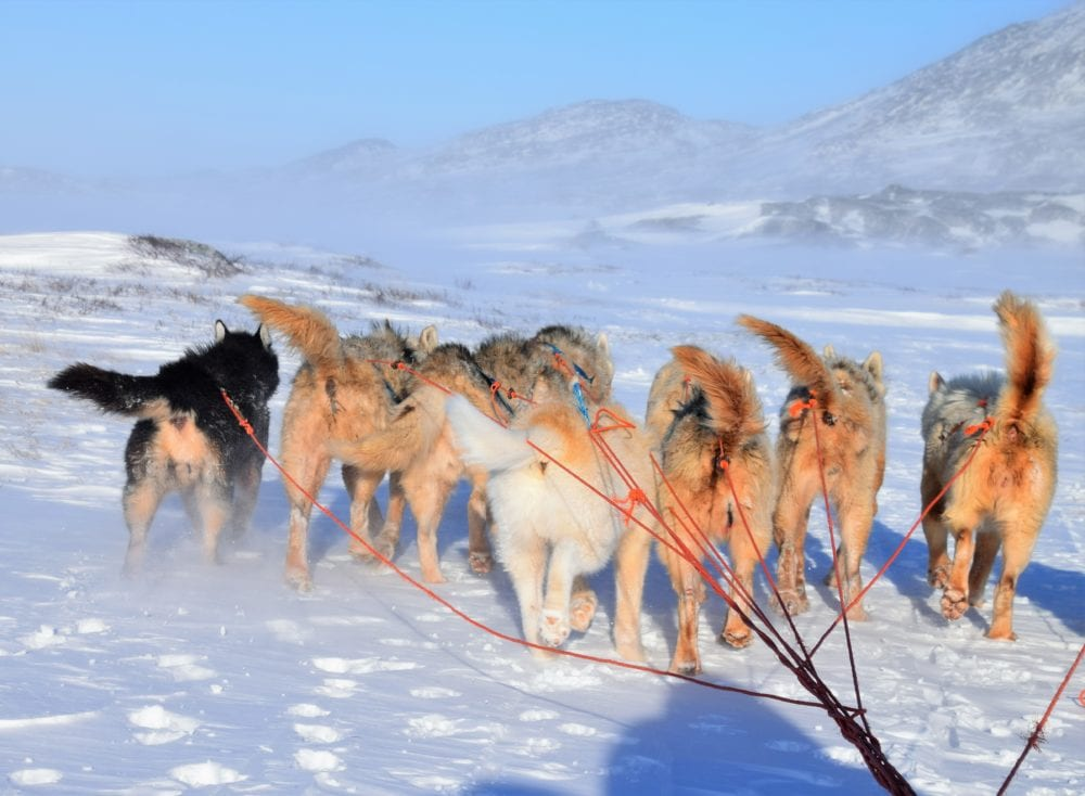 A group of Huskies pulling a sled in Greenland, seen from behind