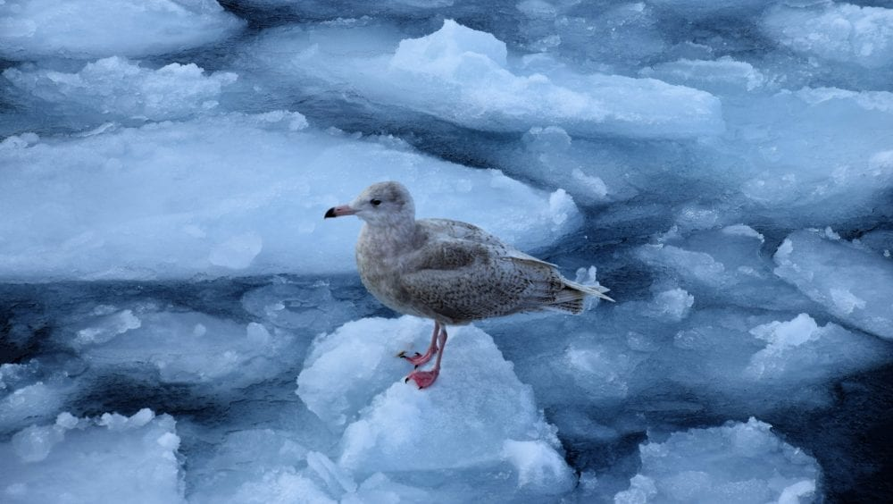 A juvenile sea bird standing ice in the Icefjord