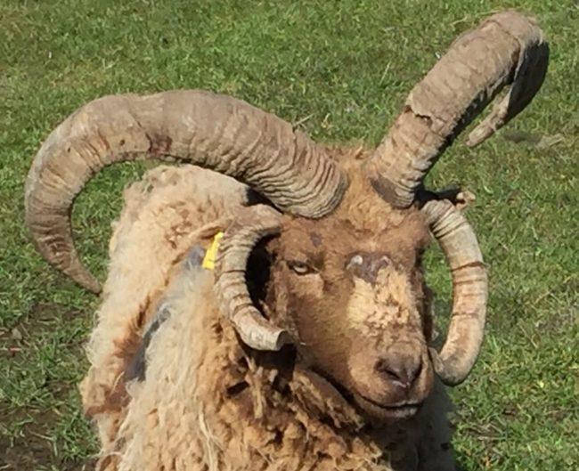 A close up of a four horned Manx Loaghtan sheep