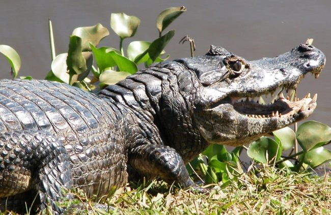 Close up of a Jacare caiman in the Pantanal