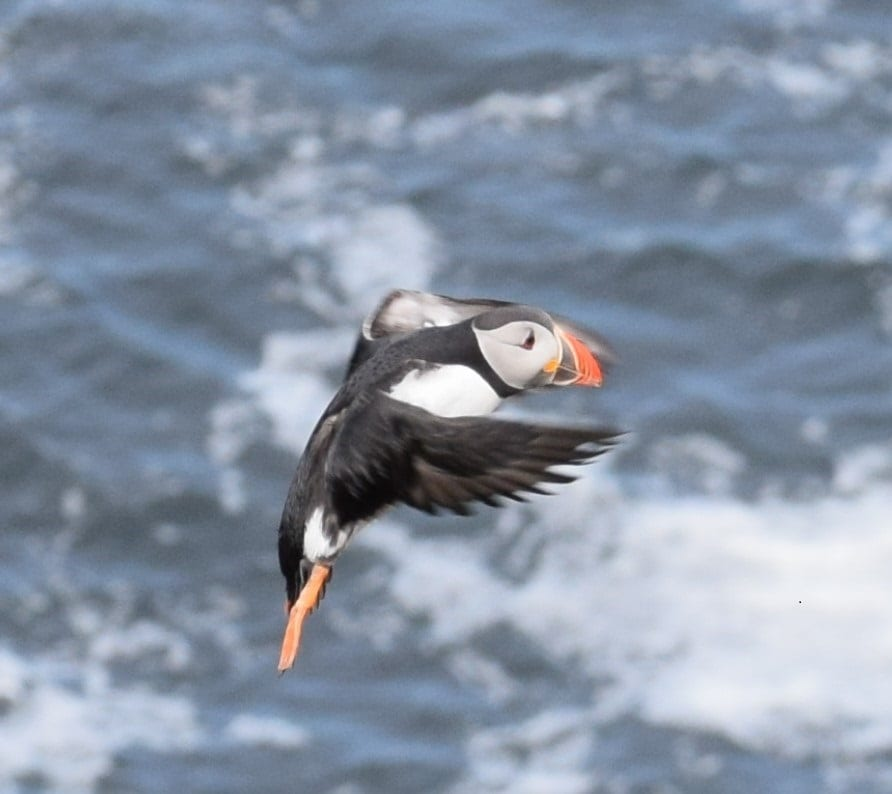 A puffin in flight, wings outstretched, Faroe Islands