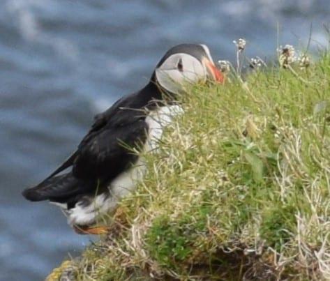 A puffin hiding behind a clump of grass, Faroe Islands