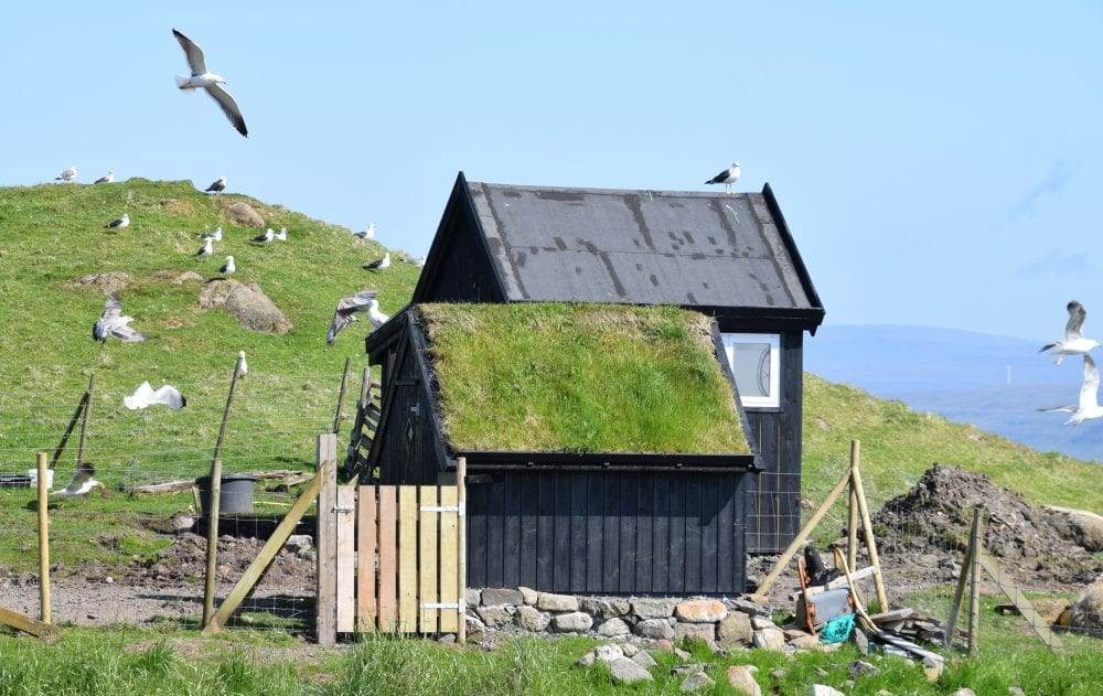Seagulls surrounding a small turf roofed cabin on the cliffs, Faroe Islands