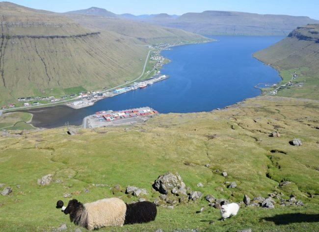 Sheep graze above a blue fjord, Faroe Islands