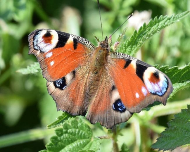 Peacock butterfly perched on a nettle,