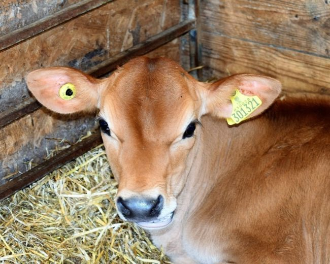 A headshot of a prize Jersey calf in its pen