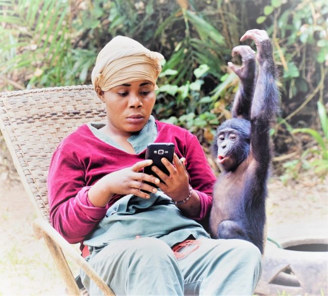 A young bonobo sneaks up on one of his keepers, who is reading her phone