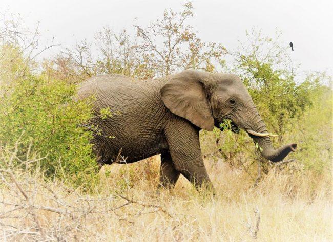 An elephant emerging from the bush at Mkhaya